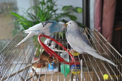 Клетки для волнистых попугаев и их оборудование