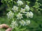 Целебные свойства растений: Тмин